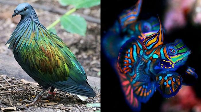 Rainbow animals: a nicobar pigeon and mandarin fish
