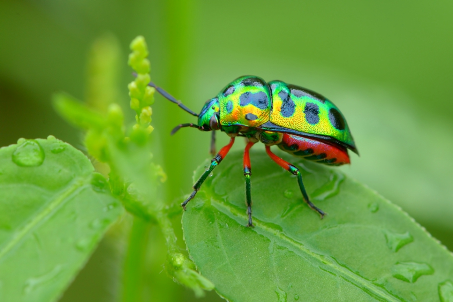 Rainbow beetle sitting on a leaf