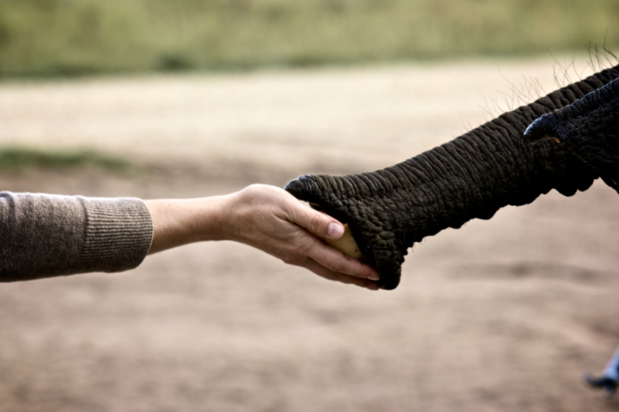 Elephant and human holding hands