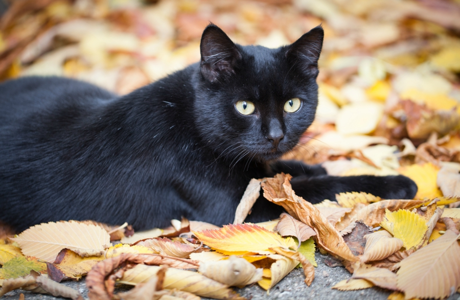 Black cat laying in a pile of fallen leaves