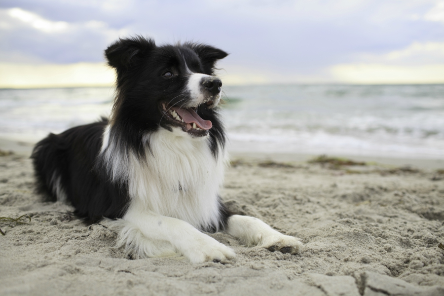 border-collie-libra-dog-horoscope-090716.jpg
