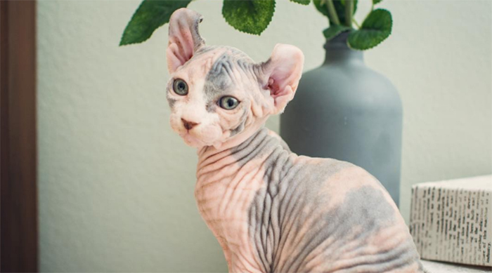 Pink hairless sphinx kitten