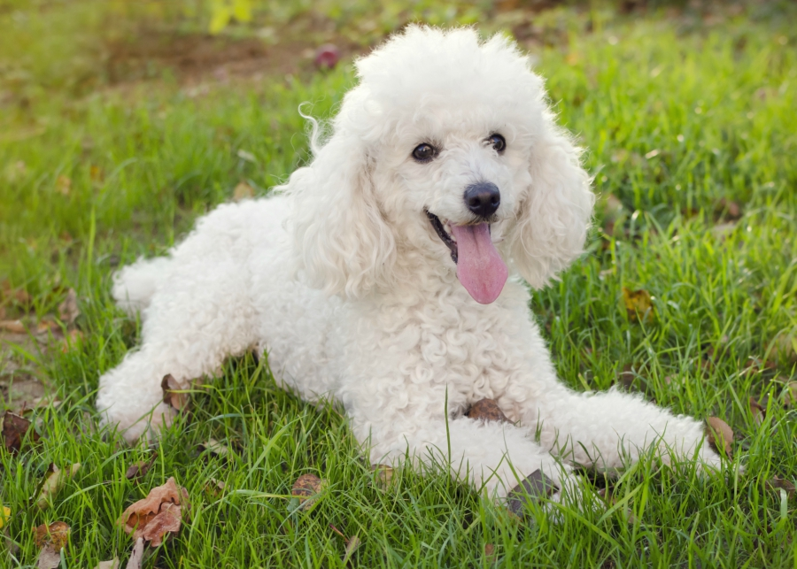 How To Know If Your Dog Is Full Breed