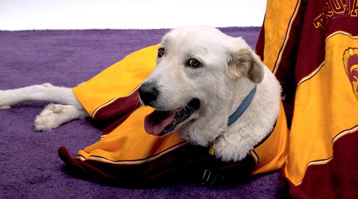 Dog dressed in USC gear
