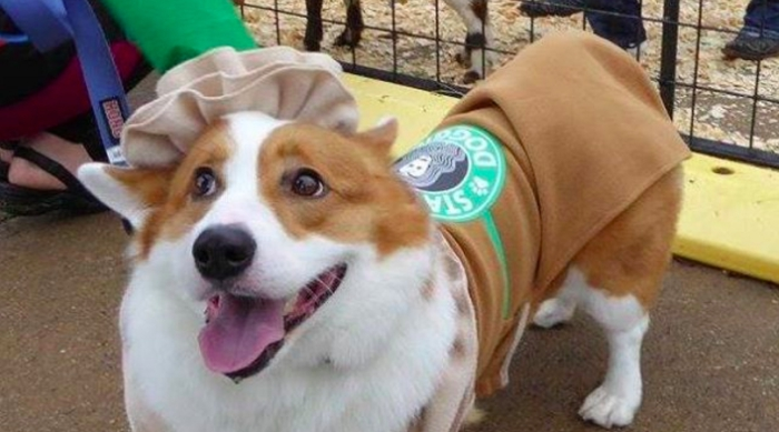 Corgi dressed in a Starbucks cup costume