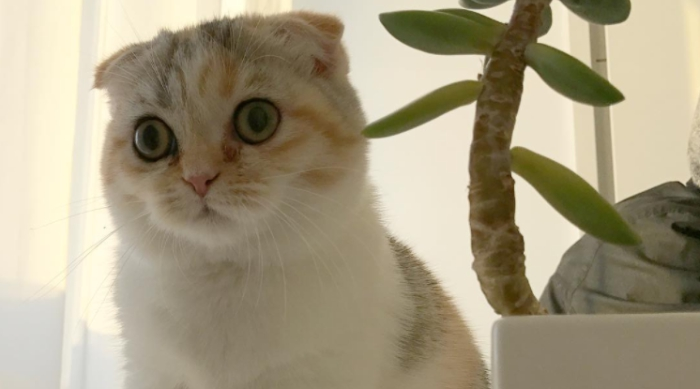 Scottish Fold mix kitten named Luna Rose