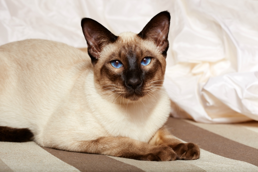 Should I Adopt A Siamese Cat