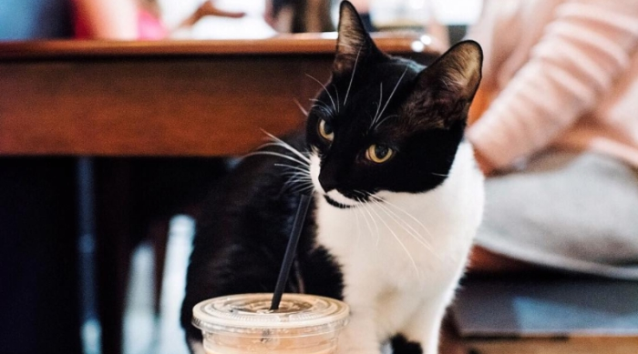 Black and white cat sipping on a drink
