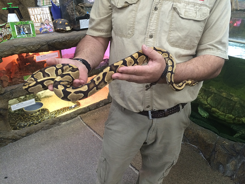Guy holding medium-sized ball python