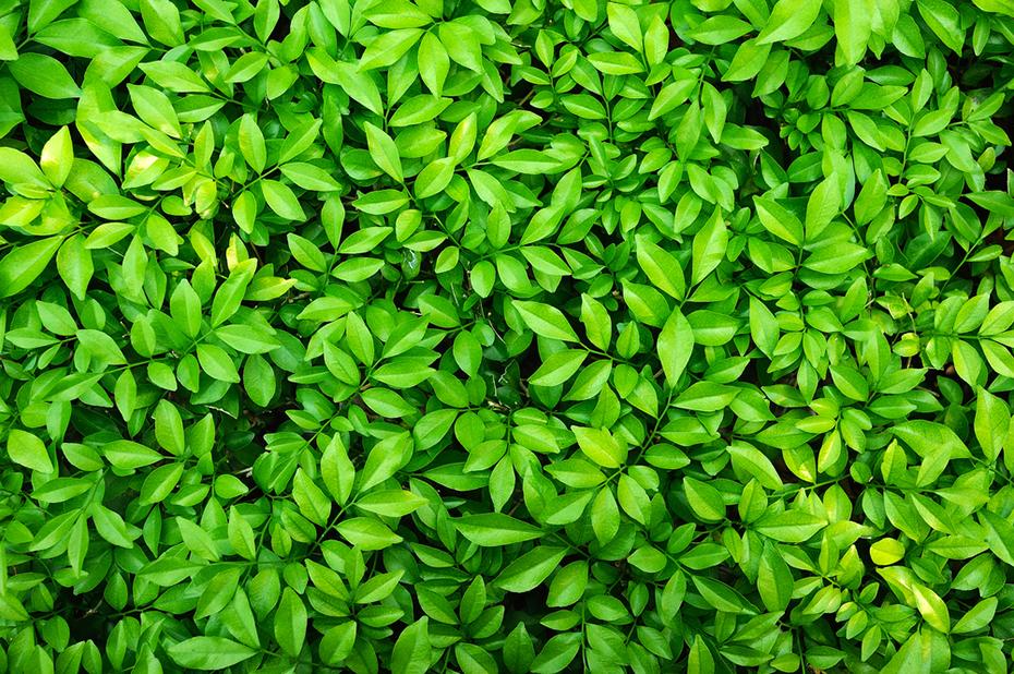 Pile of verdant green leaves