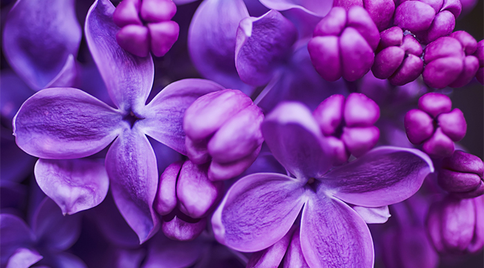 Vibrant purple flowers and lilacs