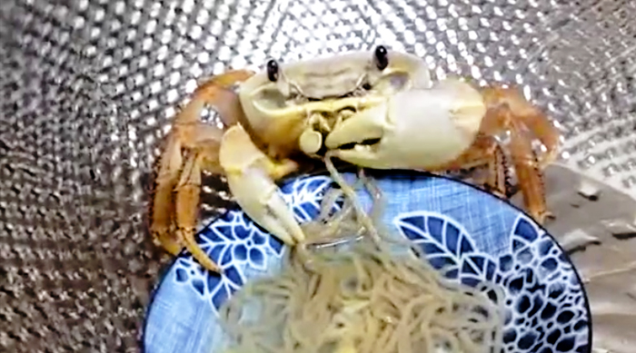 Hungry crab eating noodles