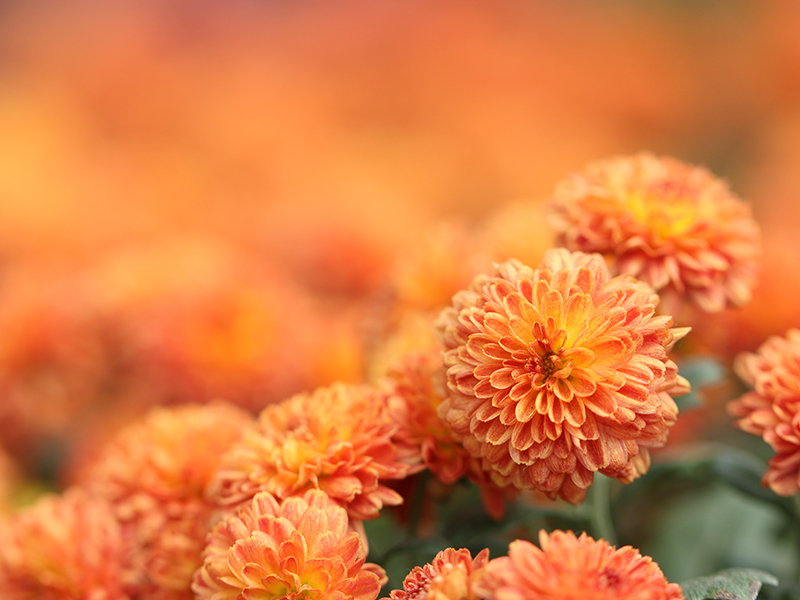 Orange Chrysanthemum flowers in a field