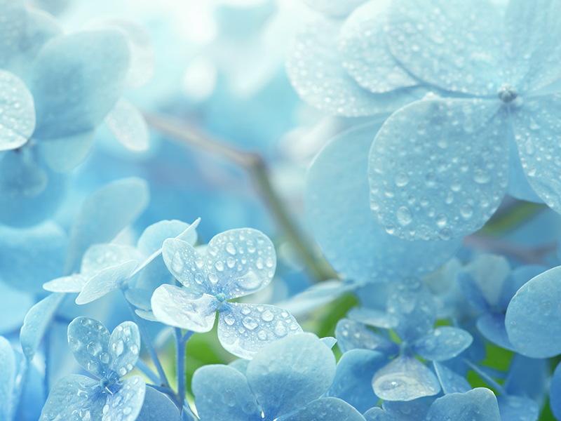 Blue hydrangea flowers glistening with morning dew