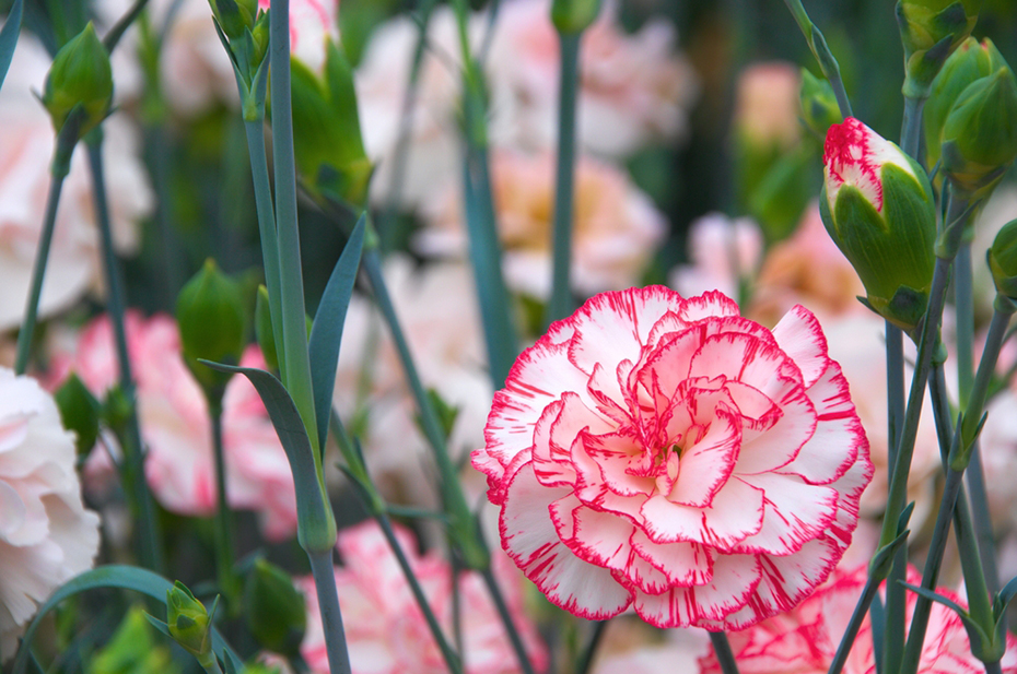 Star sign flowers and personality meanings horoscope red and white carnation flowers in field mightylinksfo