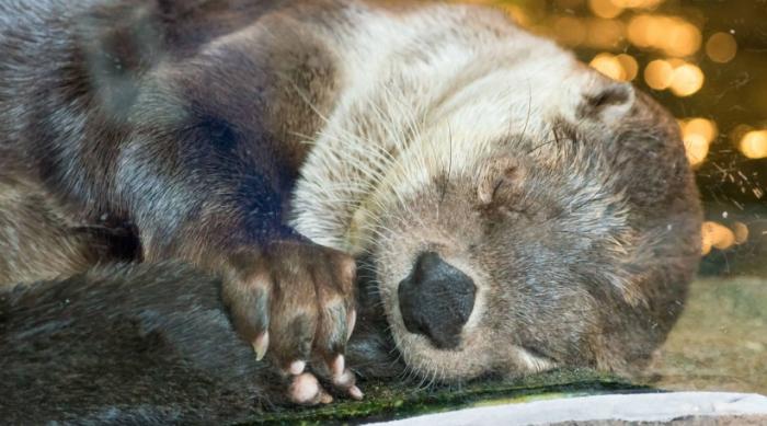 River Otter Sleeping