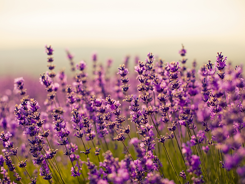 Purple lavender flowers in a field
