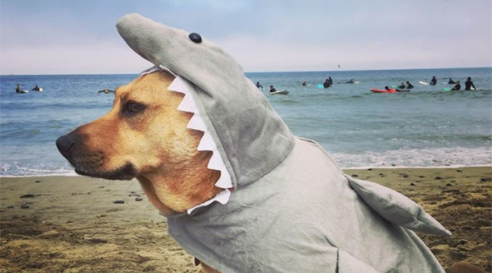 Dog dressed as a shark at World Dog Surfing Championships