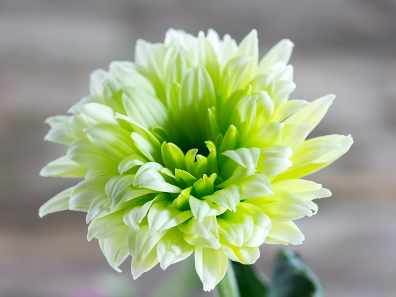 Single green flower