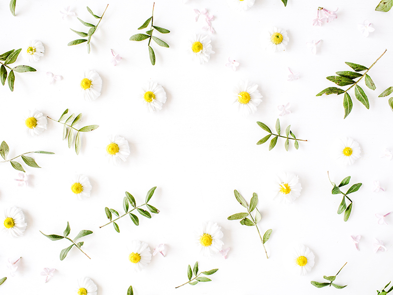 White Daisies spread out on top of a white background