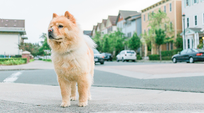 Dog standing in front of houses in neighborhood
