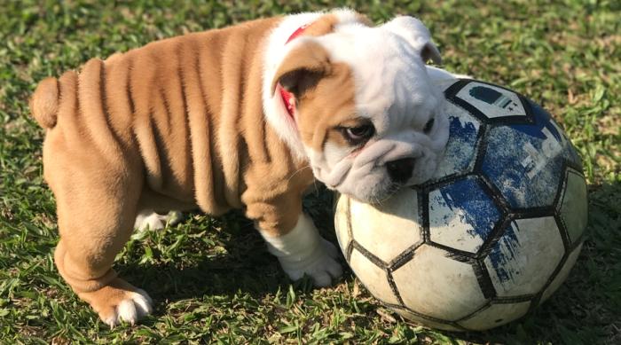 Bulldog With a Soccer Ball