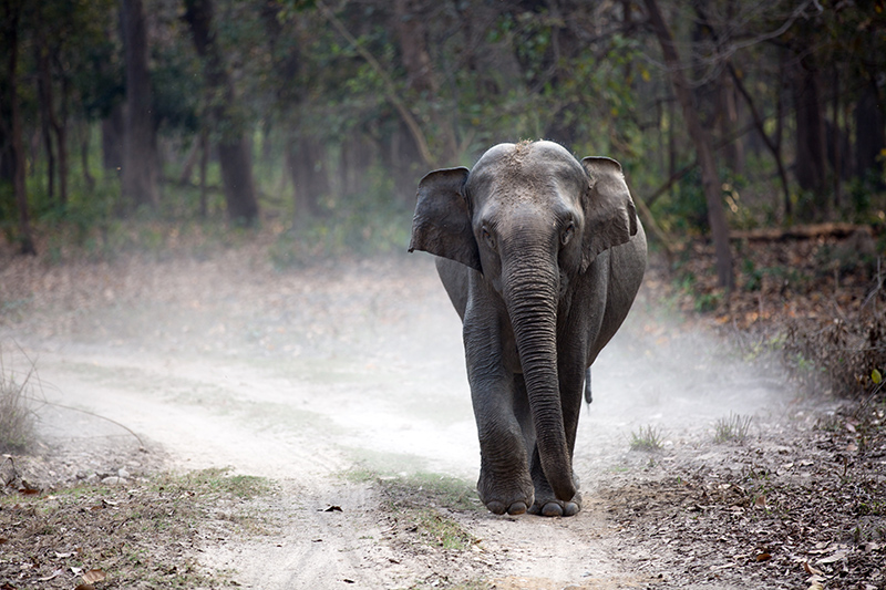 Elephant walking down a dirt path