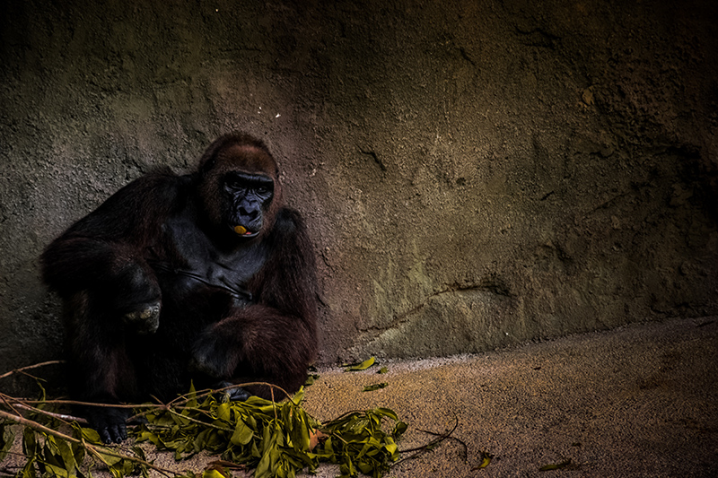 Gorilla in a zoo enclosure