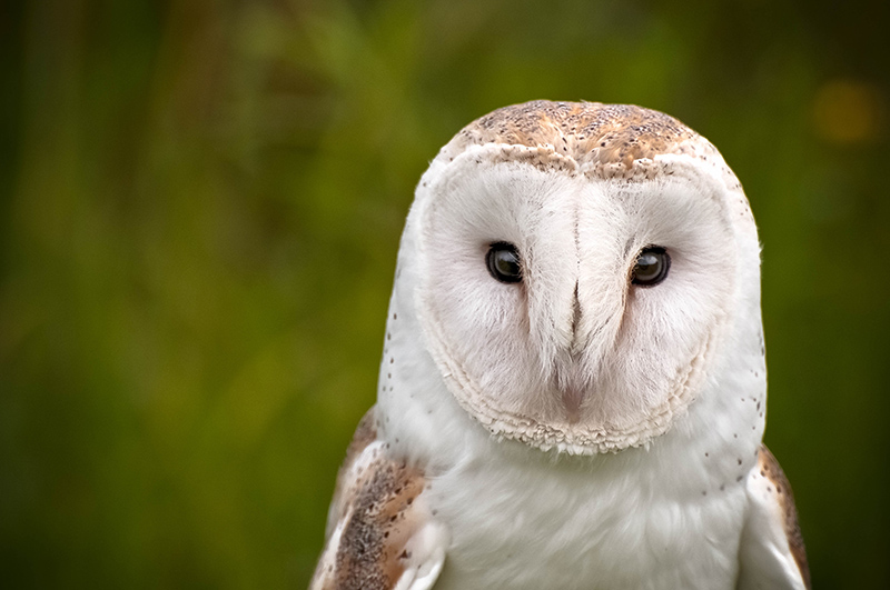 Barn owl in the wild