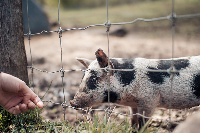 Person trying to pet a pig through a fence
