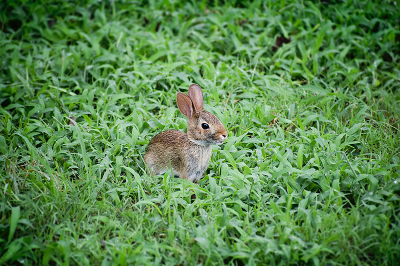 Small brown wild rabbit sitting in a lush grass field