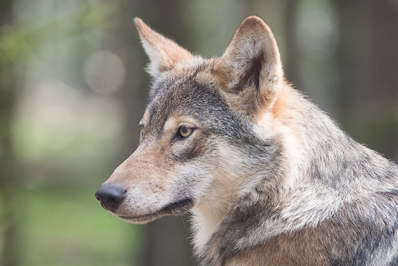 Close up of a wolf in the wild