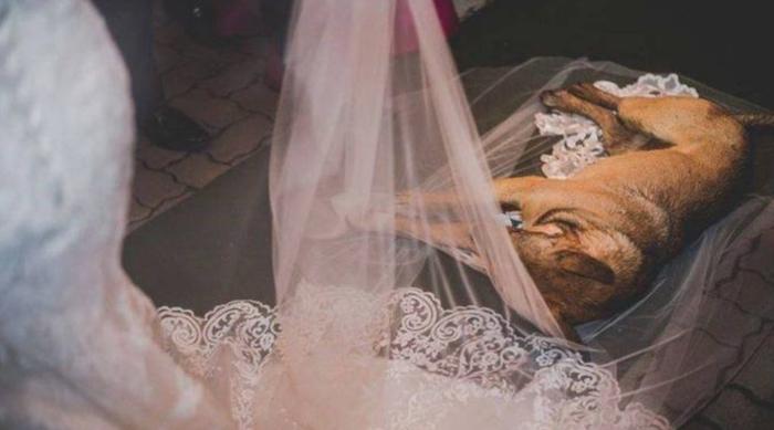 Dog Asleep on Wedding Veil