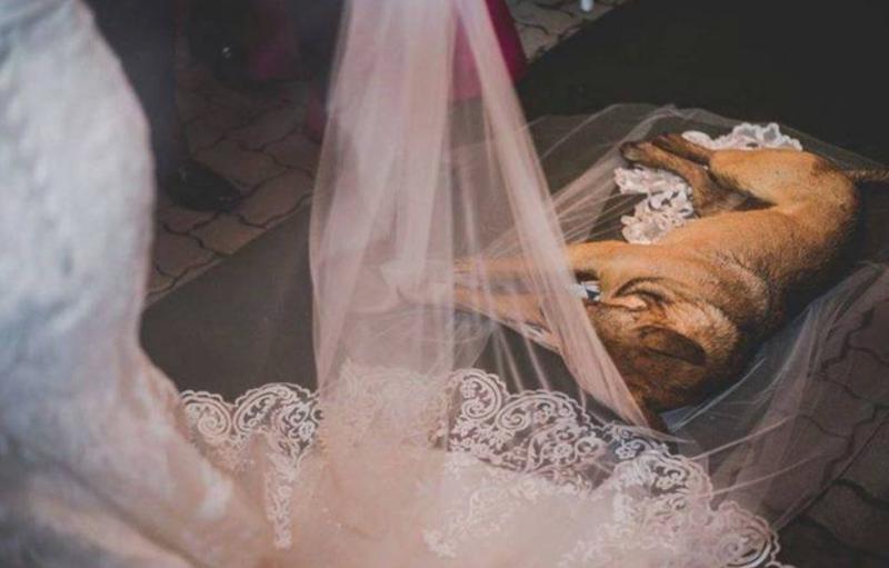 Dog Asleep On Veil