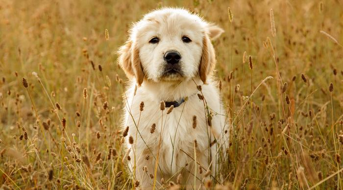 Cute golden retriever puppy in field