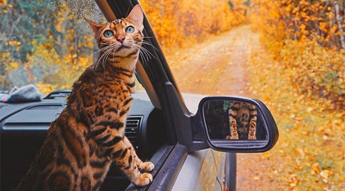 Cat in the passenger's seat of a car