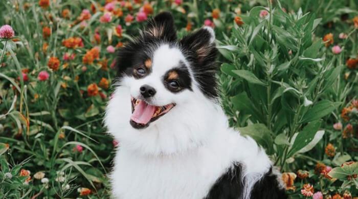 Pomeranian smiling in a field of flowers