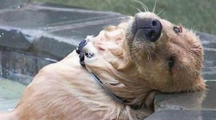 Sad dog laying in pool