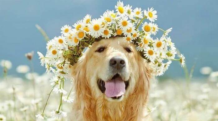 Instagram: Springtime golden retriever with flower crown