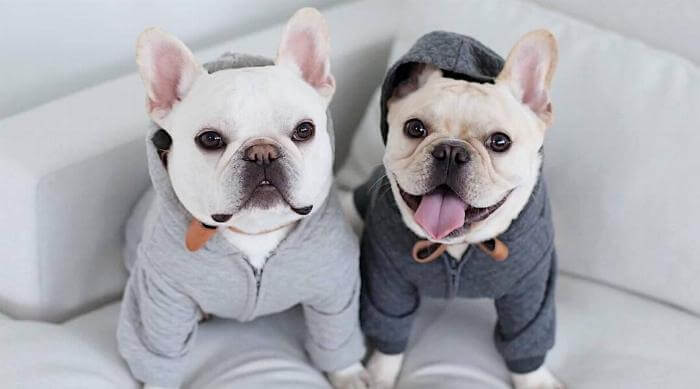 Instagram - French bulldogs Theo and Cato