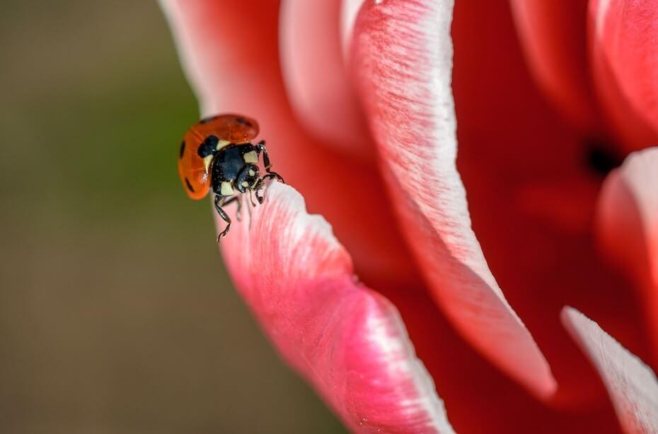 Unsplash: Ladybug crawling on pink flower