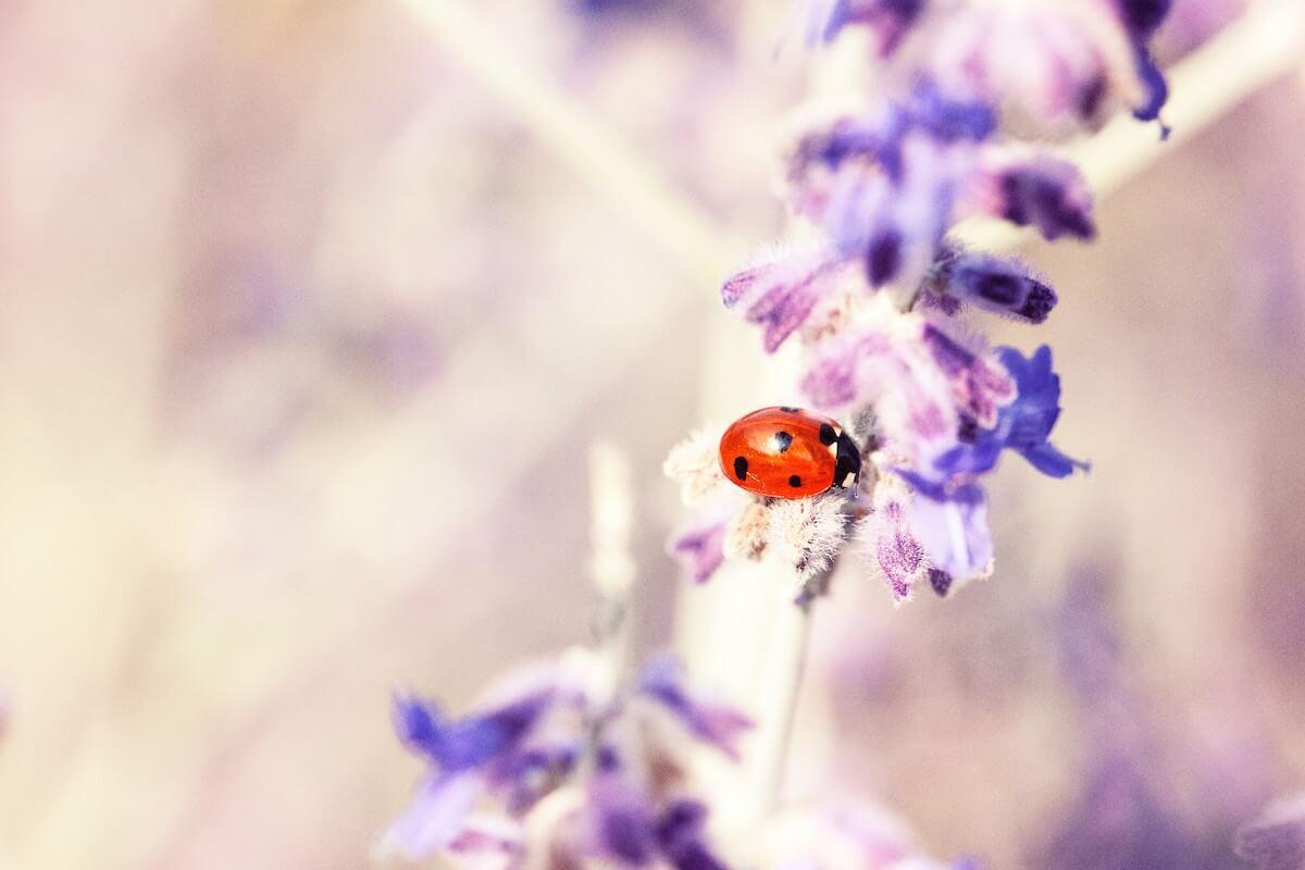 Unsplash: Ladybug crawling on purple flowers
