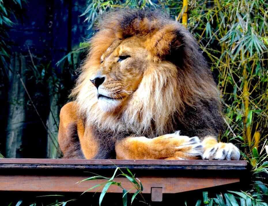 unsplash-cassie-lafferty-lion-resting-on-porch-102919