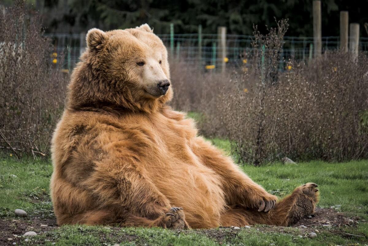 unsplash-mark-basarab-big-bear-sitting-up