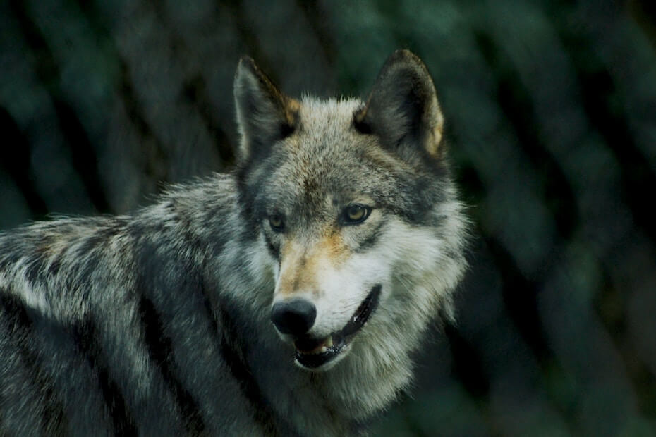 unsplash-michael-larosa-grey-wolf-102919