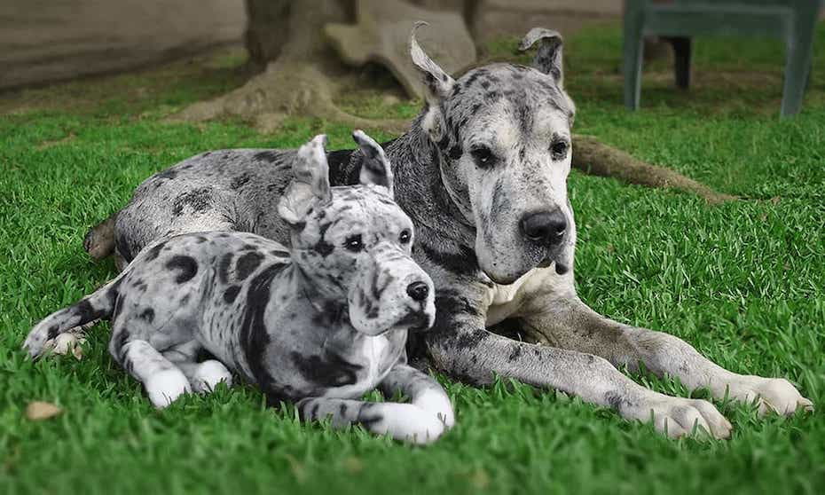 cuddle-clones-great-dane-clone-110519