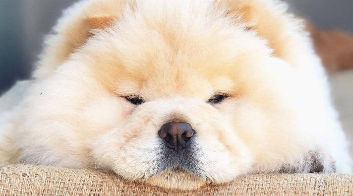 instagram @thechowcalledziggy chow chow face resting