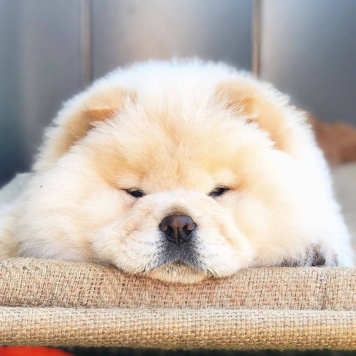 instagram @thechowcalledziggy chow chow face resting