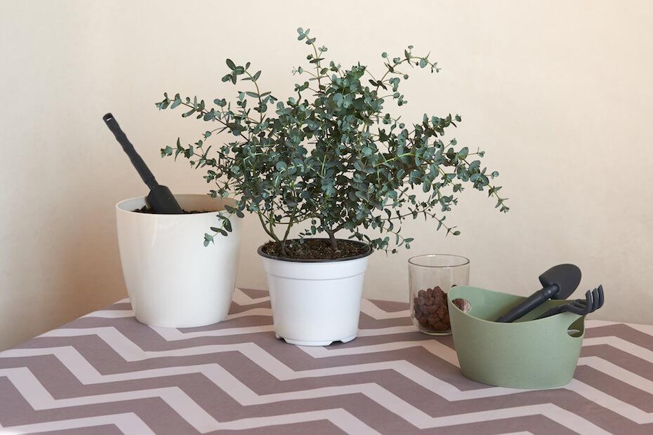 Shutterstock: Eucalyptus plant. Preparing for repotting the plant