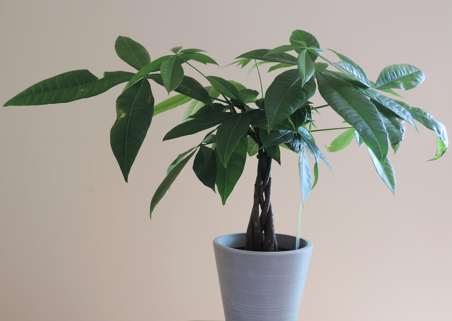 Shutterstock: A Money Tree Plant with Ornate Braided Trunk in a white pot on a white background